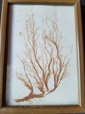 Antique Victorian pressed seaweed picture Ectocarpus Dawlish May 1854