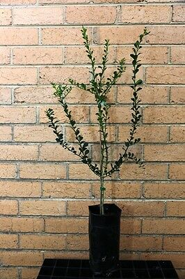 """Finger Lime """"jali Red"""" 2 And A Half Year Old Grafted Plant"""