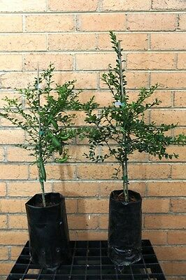 """Finger Lime """"tasty Green"""" 2 And A Half Year Old Grafted Plant"""