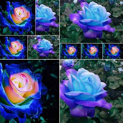 50pcs Rare Garden Blue Pink Roses Plant Seeds Balcony Potted Rose Flowers Seed