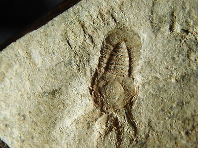 A Small NICE! and 100% Natural Symphysops sp. Trilobite Fossil Morocco 82.4gr *G