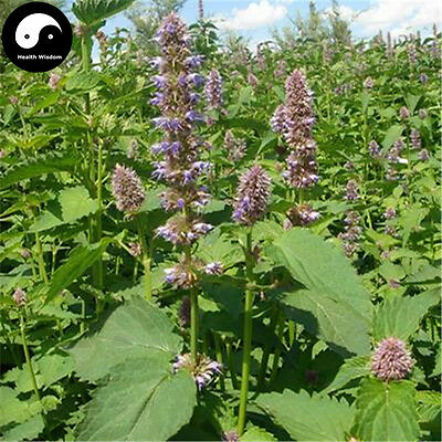 Buy Real Patchouli Herb Seed Plant Medicinal Herb Agastache Rugosa Huo Xiang