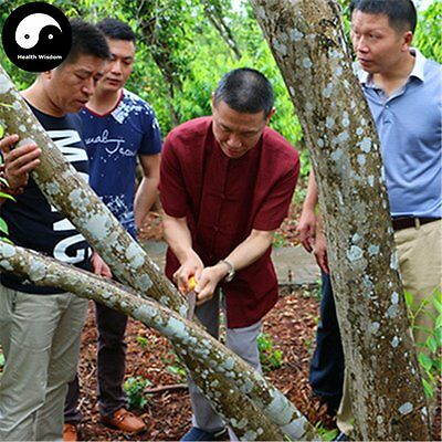 Real Aquilaria Sinensis Tree Seeds Agarwood Scented Incense Wood Chenxiang Seed