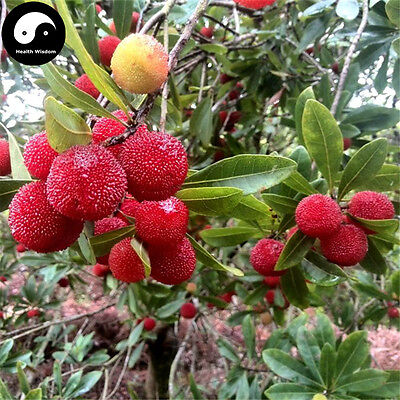 Buy Real Strawberry Fruit Tree Seeds Plant Chinese Red Bay Grow Yangmei Berry