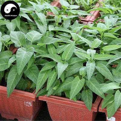 Chinese Vegetable Seeds For Leaf Vegetables Spinach