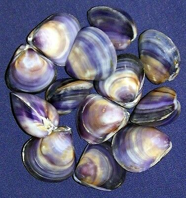 "Polished Purple/Violet Clam Pr.,Cockle, Scallop,Pecten Shells~1""~(5/10/20/ Pcs."