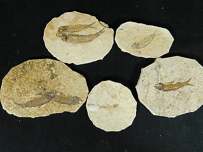 Lot of FIVE! Small 100% Natural 50 Million Year Old Fossil Fish Wyoming 184gr