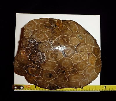 DINO: Lg. Fossilized CORAL Dome Polished Specimen, Morocco - 187 grams.