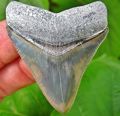 Exceptional Bone Valley Megalodon Fossil Shark Tooth Florida teeth gem