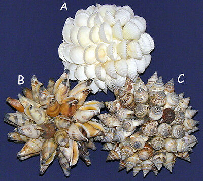 "3/""-4/"" Flame Auger Terebra Shells Craft Seashell Supply 3//6 Shells"
