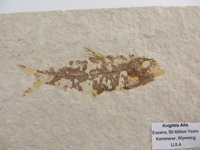 S.V.F - Fossilised Fish, Knightia - 50 Million Years old, Wyoming USA