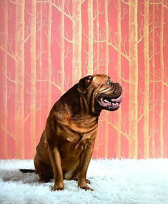 Catherine Ledner Photo Poster 50x60cm Bruno Dogue de Bordeaux Bordeauxdogge Hund
