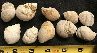 Tylostoma Large Cretaceous Fossil Snail Gastropod Mollusk - Lot of 10