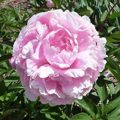 Pink Twinkle (Herbaceous Peony)