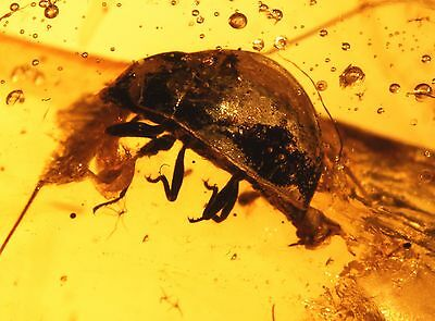 Two interesting ultra rare specie of Beetles in authentic Burmite Amber