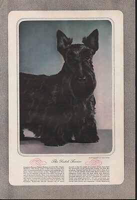 1942 Scotty Dog Scottish Terrier Henry Waxman Champion Relgalf Ribbon A18816