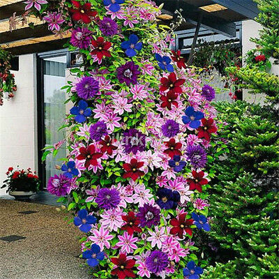 Utility 50pcs Mixed Clematis Climbing Plants Seeds Flower Garden Decor US