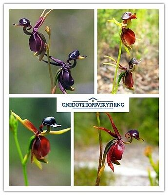 20Pcs Rare Flying Duck Orchid Flower seeds Genuine Viable UK Stock
