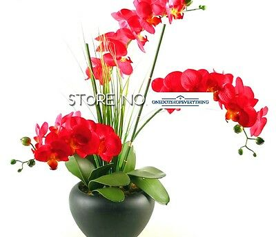 10Pcs Rare red Phalaenopsis orchid bonsai flower seeds Genuine Viable UK Stock