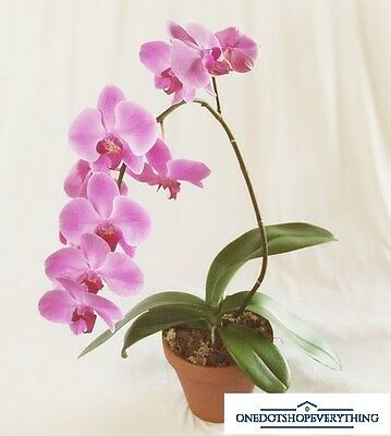 10Pcs Rare Pink Phalaenopsis orchid bonsai flower seeds Genuine Viable UK Stock