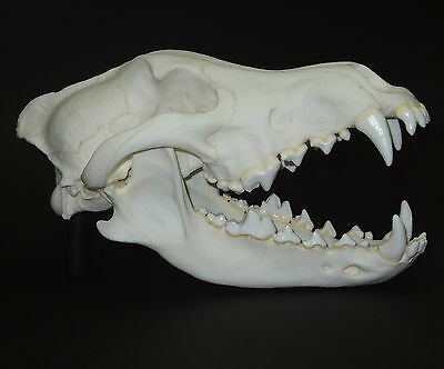 Gray Wolf Skull Replica (Real Size)