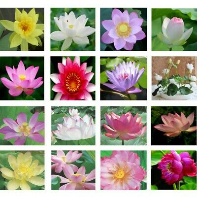 AU 10/100Pc Water Lily Bowl Aquatic Hydroponic Seeds Planting Plants Home Decor