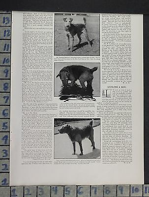 1916 Airedale Dog Terrier Animal Irish Show Canine Nature Vintage Ad Dp70