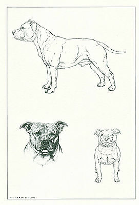 Dog Art Print Staffordshire Bull Terrier Dog by Davidson