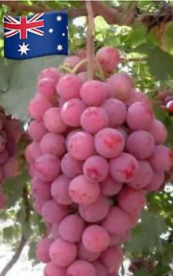30X Giant Red Globe Grape Seeds