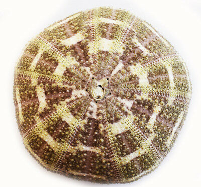 "(1) Large Alfonso Gator Sea Urchins 3-4"" Coastal Beach Cottage Crafts Airplants"