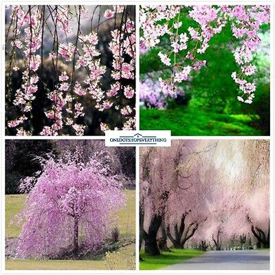 10Pcs Rare Pink Fountain Weeping Cherry Tree Seeds Genuine Viable UK Stock