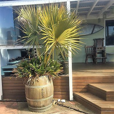 large american cotton palm and bromeliads in large wine barrel