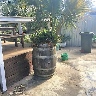 large american cooton palm with bromeliads in wine barrel