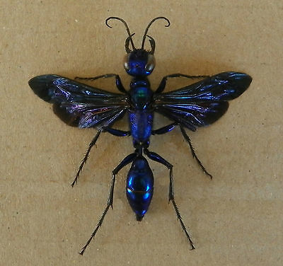 Chlorion Aerarium Huge Female 37Mm.body Cricket Hunter Wasp Hymenoptera Wow!!!!!