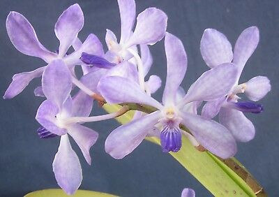 RON Vanda Orchid. V. Golamco's Blue Magic (901)