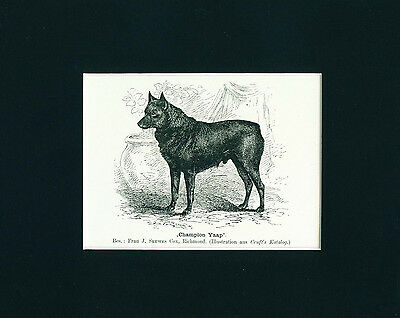 Dog Print 1904 Schipperke Dog named Champion YAAP Antique