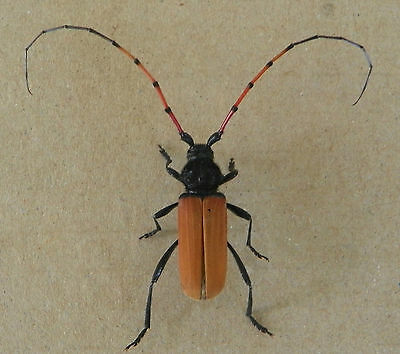 Tragidion Annulatum Male24 Mm. Unmounted,w.data Cerambycidae Coleoptera So.ca.!
