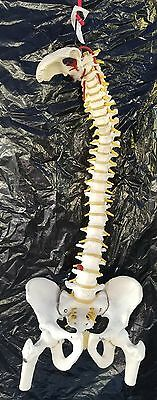 Life Size Flexible Human Spine Anatomical Model 4 part system