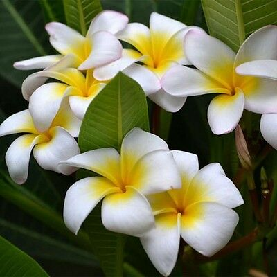 100pcs/bag Plumeria Plants Flowers ( Frangipani, Hawaiian Lei Flower ) Seeds