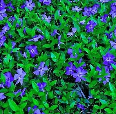 FRESH Rooted Blue Periwinkle VINCA MINOR Ground Cover Creeping Myrtle Vine FRESH