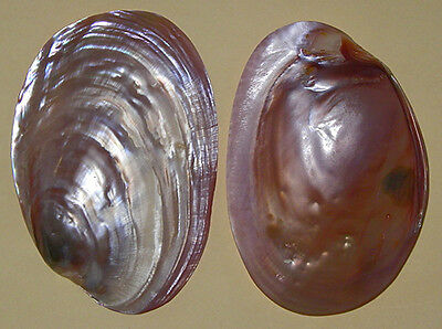 "Polished Purple Mussel/Clam Half Shell~4-1/2""- 5"" Craft Seashell ~ 1/2/3 Pcs."