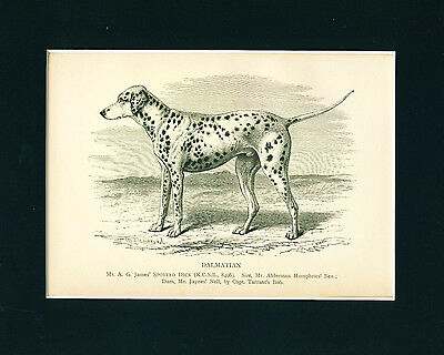 Dog Print 1897 Dalmatian Dog named Spotted Dick Antique