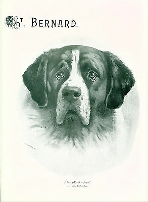 Dog Print 1904 Saint Bernard Dog ANTIQUE