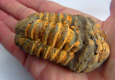 FLEXICALYMENE TRILOBITE FOSSIL from MOROCCO 70mm Educational