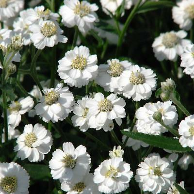 Achillea Ptarmica The Pearl - Appx 1000 seeds - Perennial