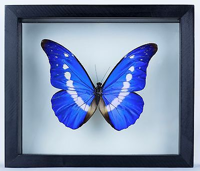 01 Butterfly Morpho Helena in wood frame double glass 6''x 7'' Inches.