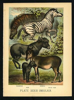 QUAGGA, ZEBRA, ASS, Vintage 1897 Chromolithograph Print, Antique, 033