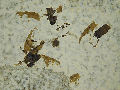 wOw FIVE! 100% NATURAL 50 Million Year Old Insect Fossil Bee's Wyoming 233gr