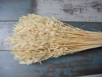 """Natural Dried Oat 100 Stems Country Harvest Decor Floral Supplies 20"""" Bleached"""
