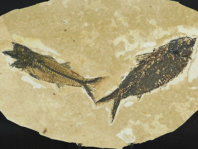 A Big! 50 Million Year Old Knightia Alta Fish Fossil With a Mioplosus! 925gr e
